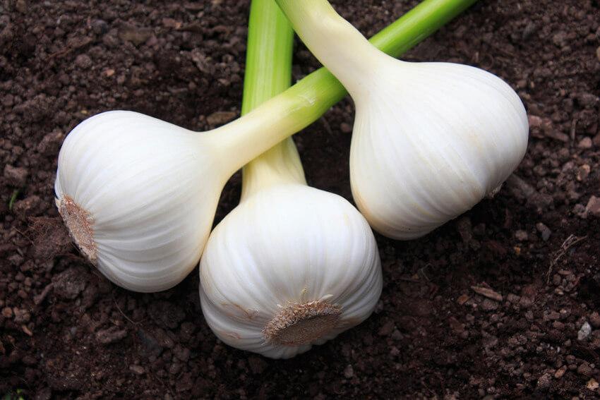 edible garlic greens