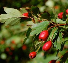 hawthorn natural remedy for high blood pressure