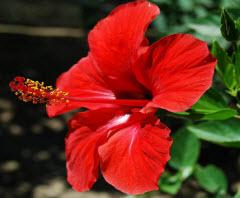 hibiscus high blood pressure remedy