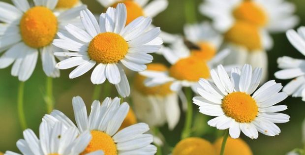 chamomile healing herb and plant
