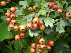 hawthorn berries ripening on the tree