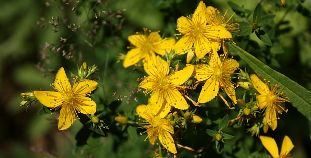 using st johns wort for depression herbal remedy